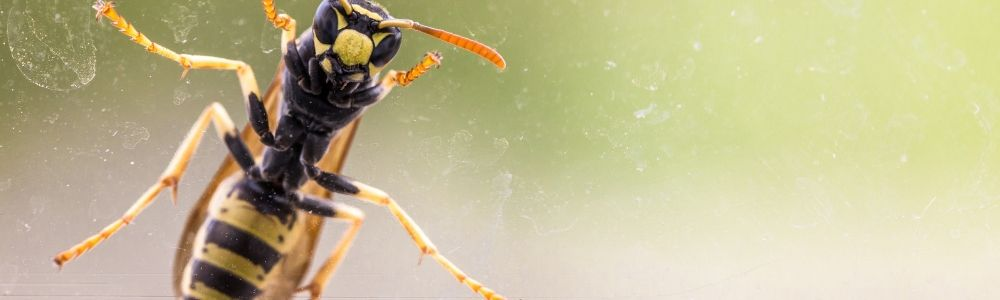 Why do wasps buzz for our beer and fly at our food?