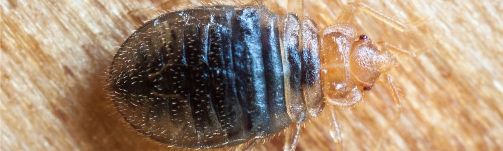 Found bed bugs in your house