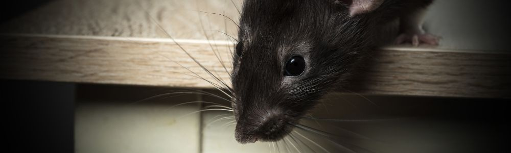 Found rats in your house?