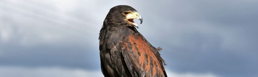 Commercial Falconry Bird Scaring