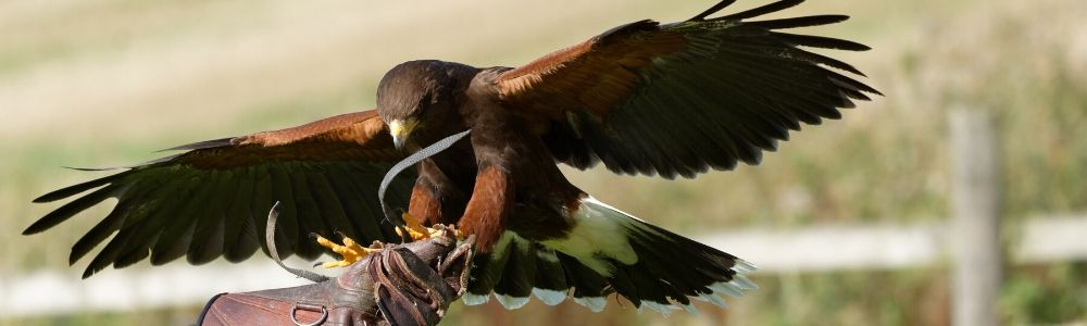 Commercial Falconry Bird Scaring Services